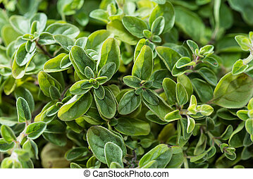 Oregano Plant close-up shot - Small Oregano Plant detailed...
