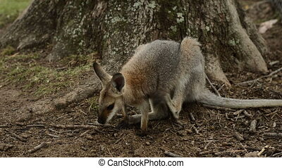 Red Necked Wallaby scratching
