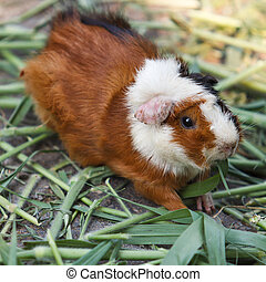 guinea pig - Guinea pigs eating grass in the garden