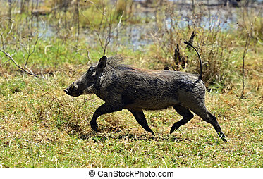 Warthog - African warthog running along the shroud near Lake...