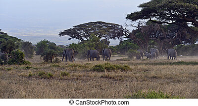 African elephants in Amboseli National Park Kenya