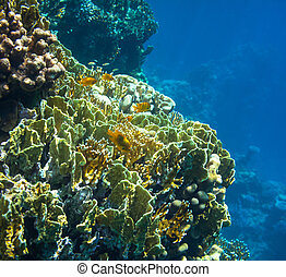 Coral reef in Red Sea,Egypt