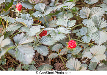 Red fruit of wild strawberry plant