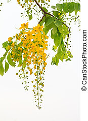 Flowers of Golden shower flower tre - Golden shower tree...