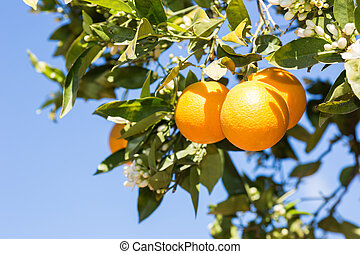 Valencia orange trees - Trees with orange typical in the...