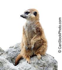 suricata isolated