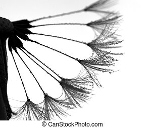 black and white dandelion with water drops - black and white...