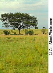 Ugandan Savanna - A tree in the the Ugandan savannah of...