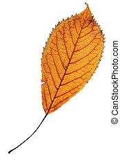 one leaf over white - one faded colorful cherry leaf...