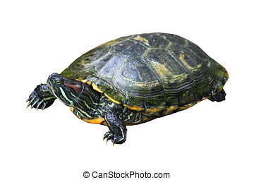 Painted Turtle - Painted turtle isolated on white background...