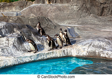 Cute Humboldt Penguins Spheniscus Humboldt in a zoo, Japan