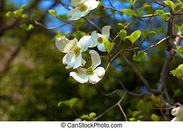 White flowering dogwood tree (Cornus florida) in bloom