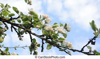 apple tree twig bloom - White blooming apple tree branch...