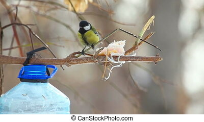 Tomtit sitting on the branch near the feeder