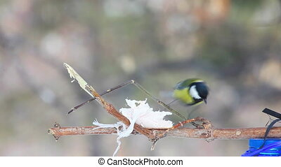 Humble feast - Tomtit feeding on the tree branch