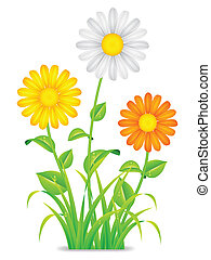Daisy chamomile flowers. - Daisy chamomile flowers with...