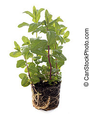 Mentha - fresh Mentha in front of white background