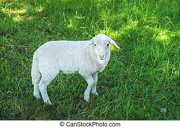 Sheep in a meadow - One white sheep in a green meadow