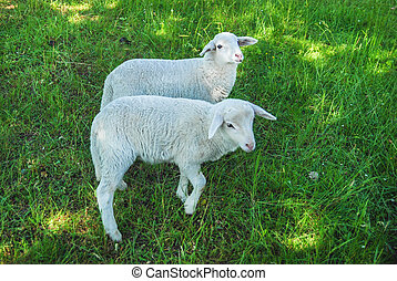 Sheeps in a meadow - Two white sheeps in a green meadow