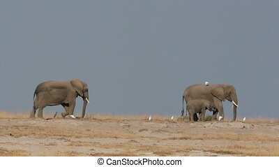 African elephants against blue sky - African elephants...