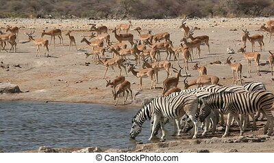 Etosha waterhole - Plains zebras and impala antelopes...