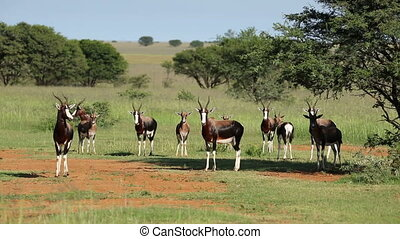 Bontebok antelopes - Herd of bontebok antelopes (Damaliscus...