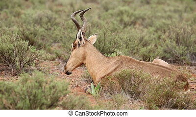 Ruminating red hartebeest Alcelaphus buselaphus resting on...