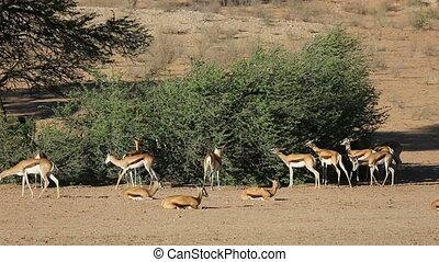 Springbok antelopes feeding