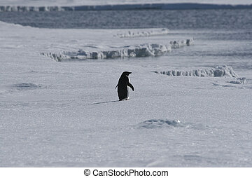 Adelie penguin walking on the sea ice in the Weddell Sea,...