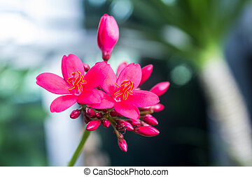 Egyptian Star Cluster flowers or Pentas Lanceolata - Close...
