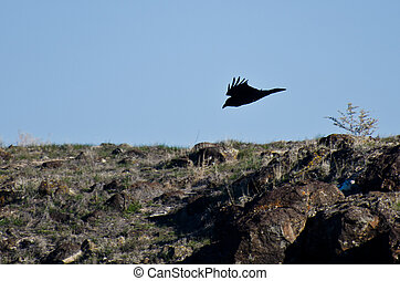 Black Raven Flying Into the Canyon