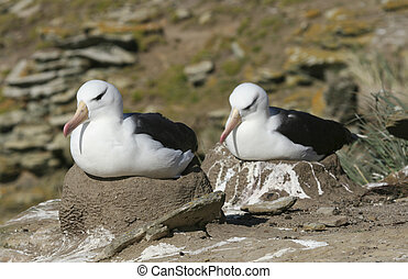 Black-browed albatross (Diomedea melanophris) on Saunders...