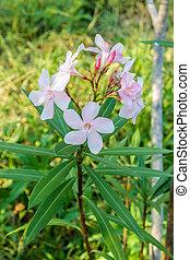 Nerium oleander L. - Pink Blossom Sweet oleander, Rose bay...