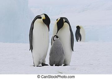 imperador, Pingüins