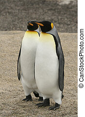 King penguin on the Falkland Islands