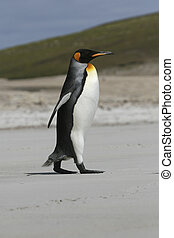King penguin walking on the beach on the Falkland Islands