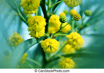 Closeup of yellow acacia mimosa trees on the nature