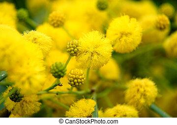 natura, giallo,  closeup, albero,  (mimosa),  acacia