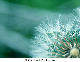 closeup of dandelion