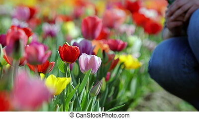 Woman hand picking fresh tulip flower in vibrant colorful...