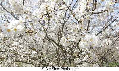 Dolly: Fruit tree blossoming in spring garden - Fruit tree...
