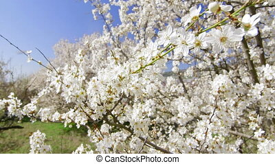 Dolly: Cherry trees blossom in spring fruit garden - Cherry...
