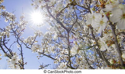 Dolly: Blooming cherry tree against sun and blue sky -...