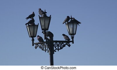 Pigeons on the streetlight  against blue sky