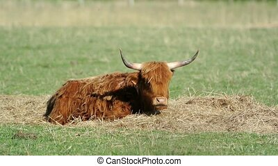 Scottish highland cattle in farm environment - North...