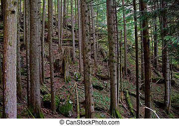 Deep Pine Woods in Washington - Deep in the pine wood forest...