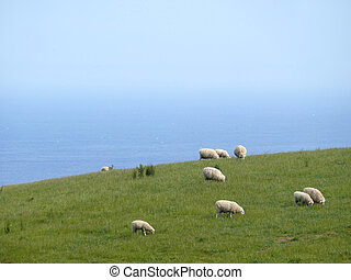 Famous australian sheep - Famous australian sheep on...