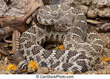 meridional, pacífico, serpiente de cascabel, (Crotalus,...
