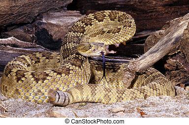 Mojave Rattlesnake - Portrait of a Mojave Rattlesnake.