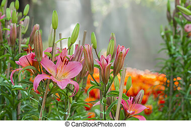 pink lilly flower in the morning - pink lilly flower with...